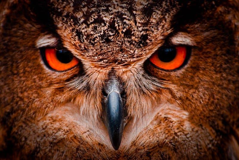 明智的老猫头鹰眼睛 免版税库存照片
