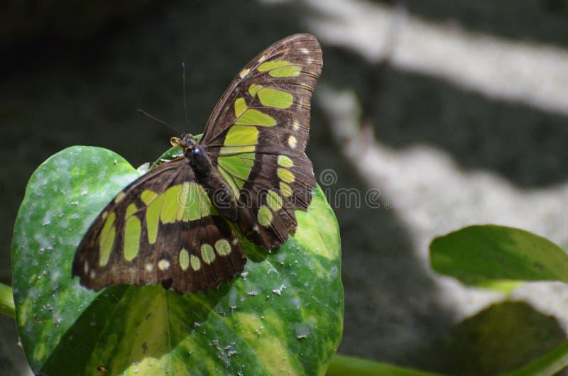 这只绿沸铜蝴蝶的惊人的翼展本质上 库存图片
