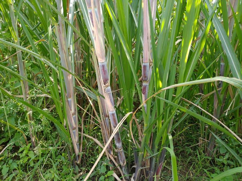这是一根甘蔗,在田地里,在印度的坎迪皮帕尔冈,奥兰加巴德马哈拉施特拉邦 图库摄影