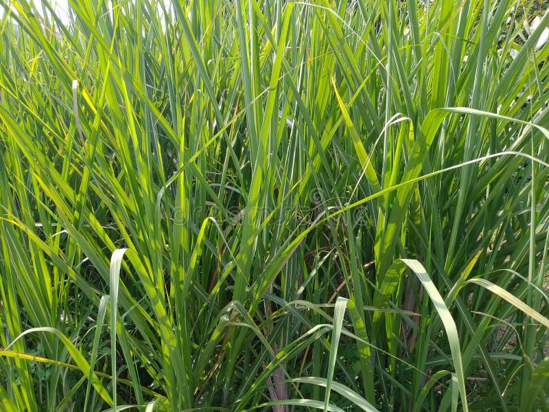 这是一根甘蔗,在田地里,在印度的坎迪皮帕尔冈,奥兰加巴德马哈拉施特拉邦 免版税库存照片