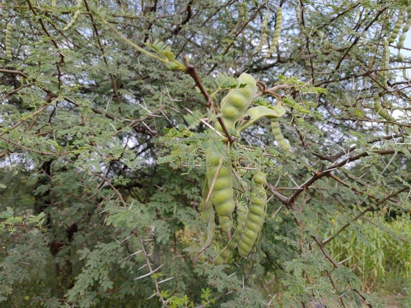 这是一棵天然的相思树,位于印度马哈拉施特拉邦的Ambegaon aurangabad村 库存照片
