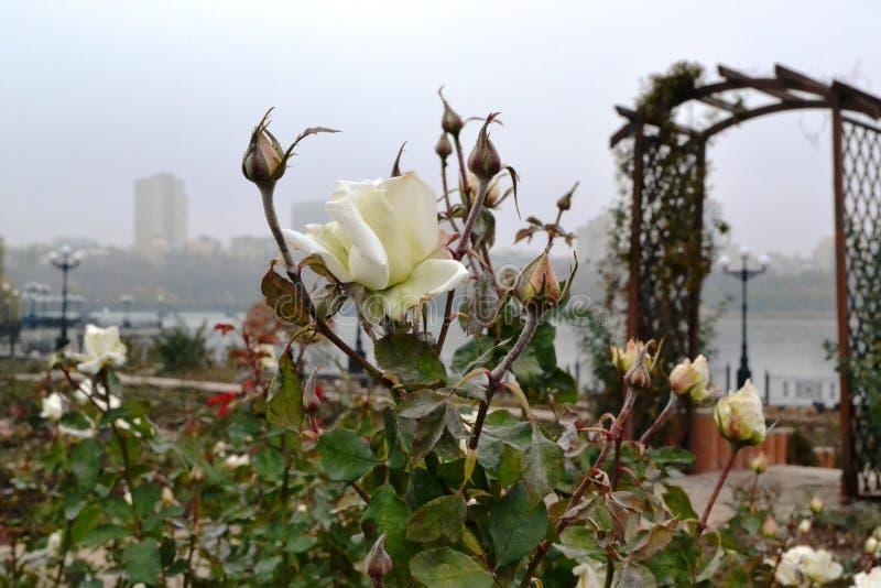 这是与一朵白色玫瑰的一个分支与芽 库存图片