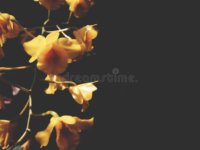 这是在黑背景的一石斛兰属lindleyi Steud 库存照片
