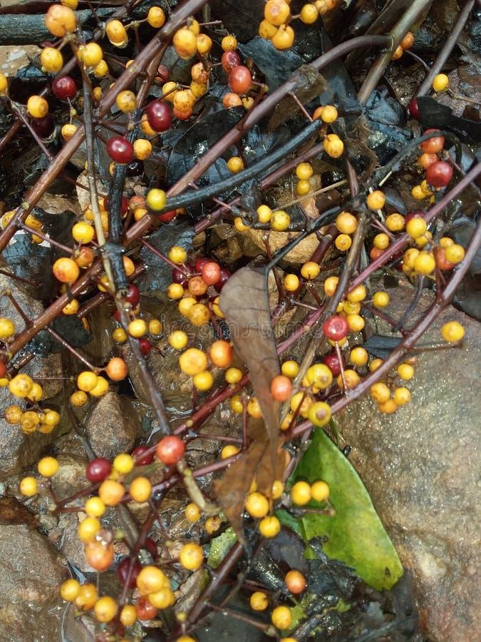 这是狂放的果子 吃由猴子 免版税库存照片