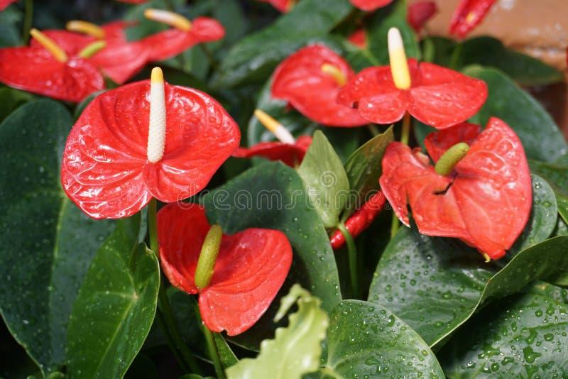 这是称安祖花的花 库存照片