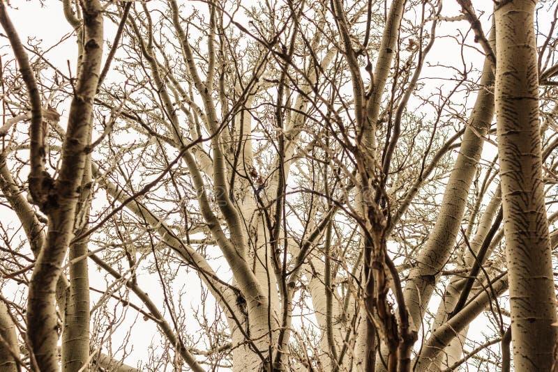 这是落叶树的这样看法在早期的冬天 库存照片