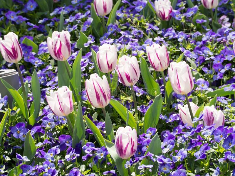 郁金香和蝴蝶花花  库存图片