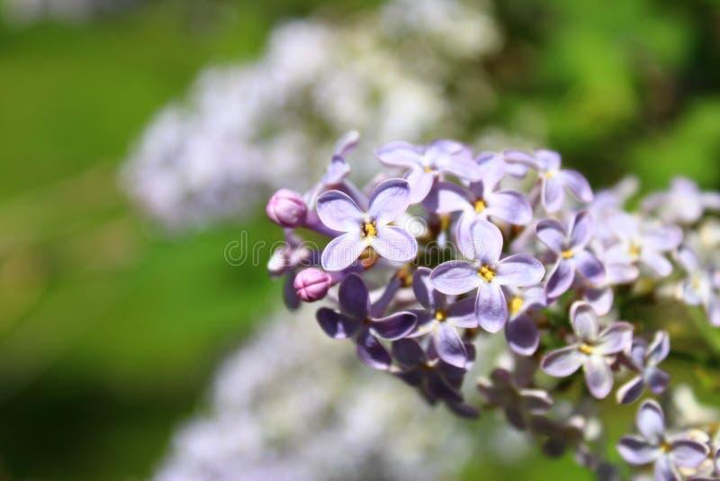 这朵夏天` s花是淡紫色的 库存照片