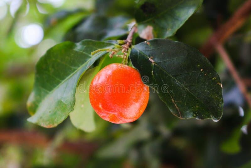 这果子是非常好 免版税图库摄影