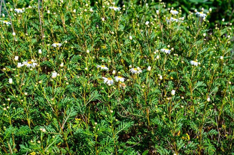 这棵植物的科学名字是argyranthemum adauctum 库存照片