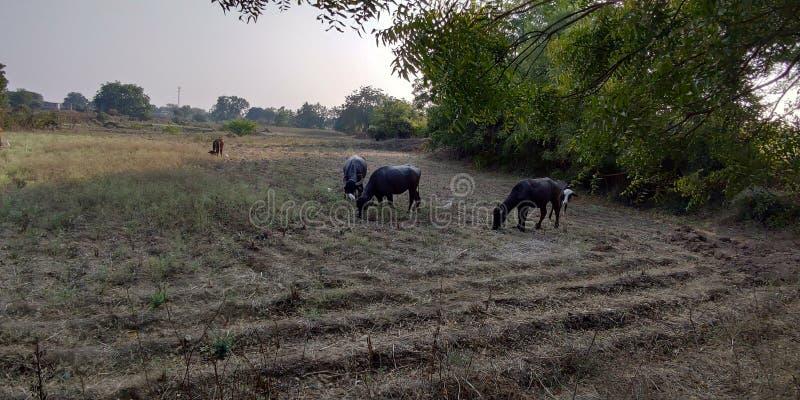 这种动物在野地里吃草,在印度马哈拉施特拉邦的阿姆贝冈奥兰加巴德村 库存照片