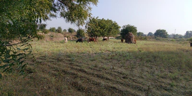 这种动物在野地里吃草,在印度马哈拉施特拉邦的阿姆贝冈奥兰加巴德村 图库摄影