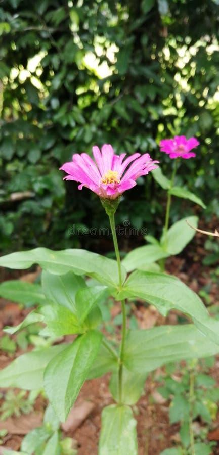 这花nanme chryysanthemum倒挂金钟 免版税库存图片