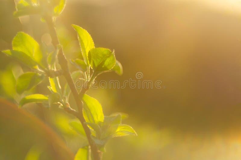 这里春天 落日的明亮的光芒在背景的被弄脏的第一绿化与明亮的人工制品 自然醒, d 免版税库存照片