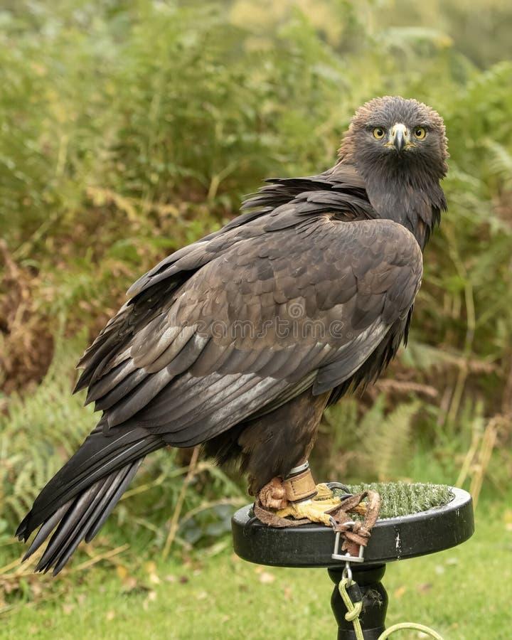 这金鹰饲养&保护节目i的一部分 免版税库存照片