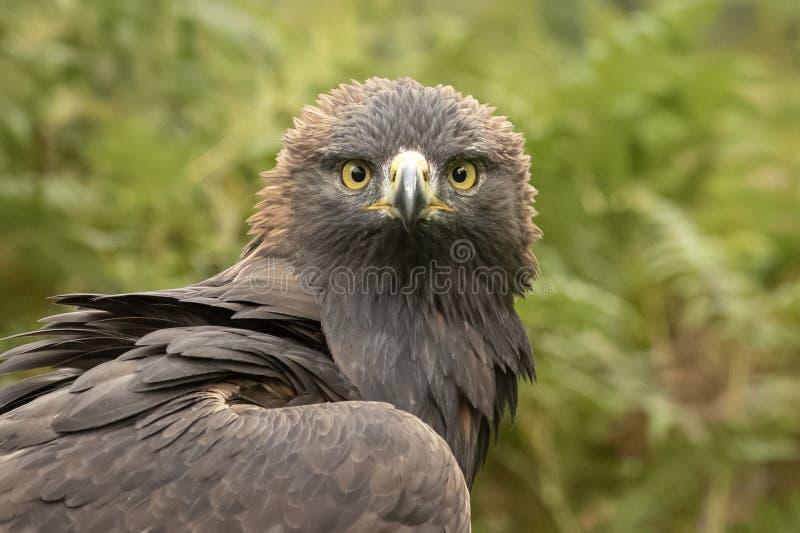这金鹰饲养&保护节目i的一部分 免版税库存图片