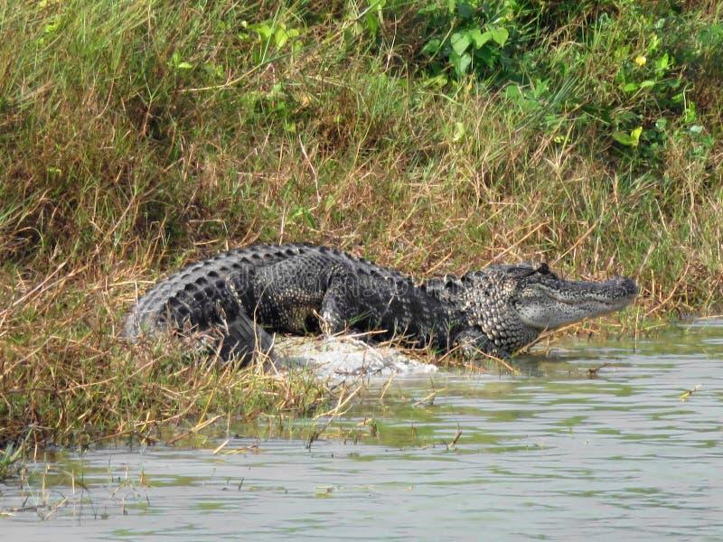 进入水的鳄鱼 免版税库存图片