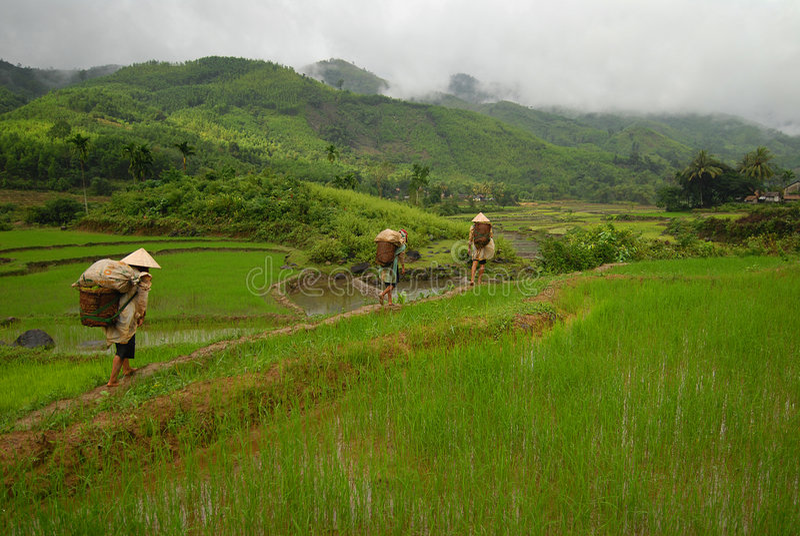 进入的水稻工作者 免版税库存图片