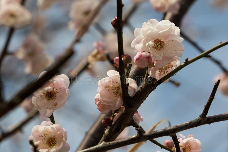 进展桃子粉红色 免版税库存照片
