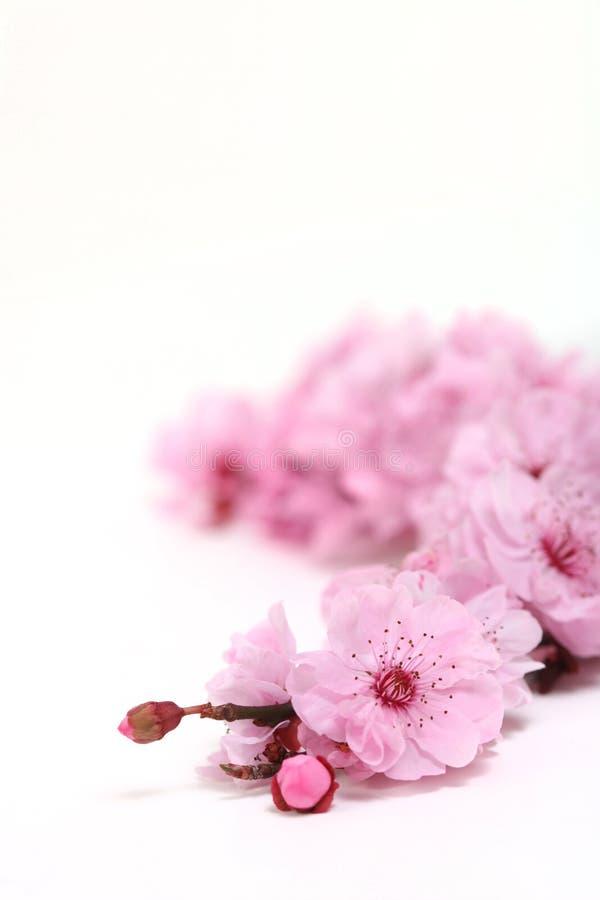 进展樱桃深度极其桃红色春天 免版税库存照片