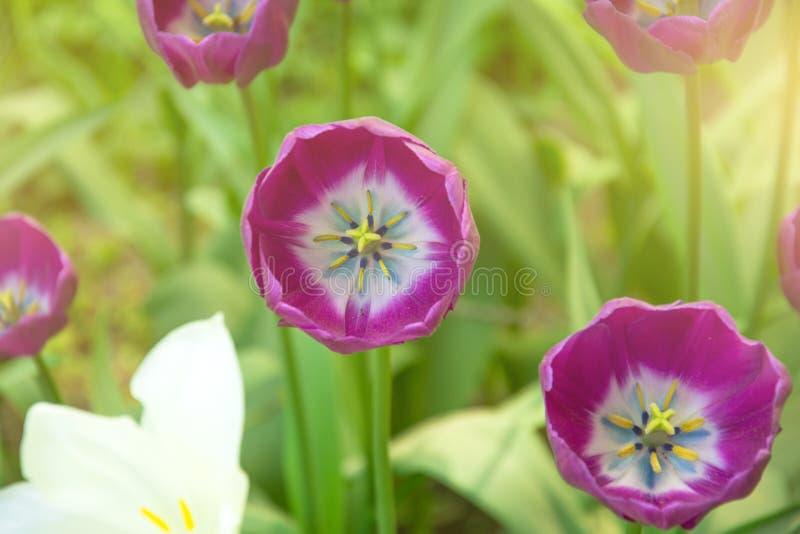 进展的桃红色郁金香关闭与从太阳的光 免版税库存照片