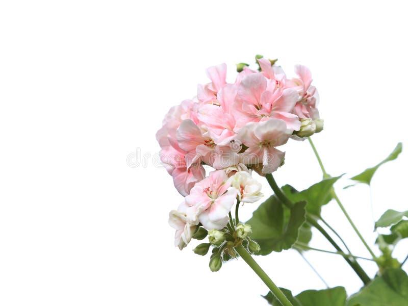 进展的浅粉红色的大竺葵花分支 库存照片