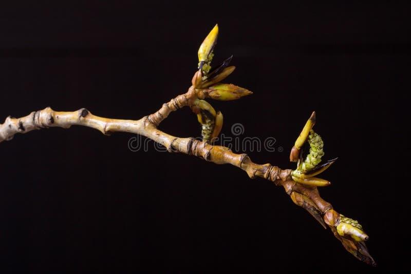 进展的白杨树分支 野生生物 唤醒春天 库存照片