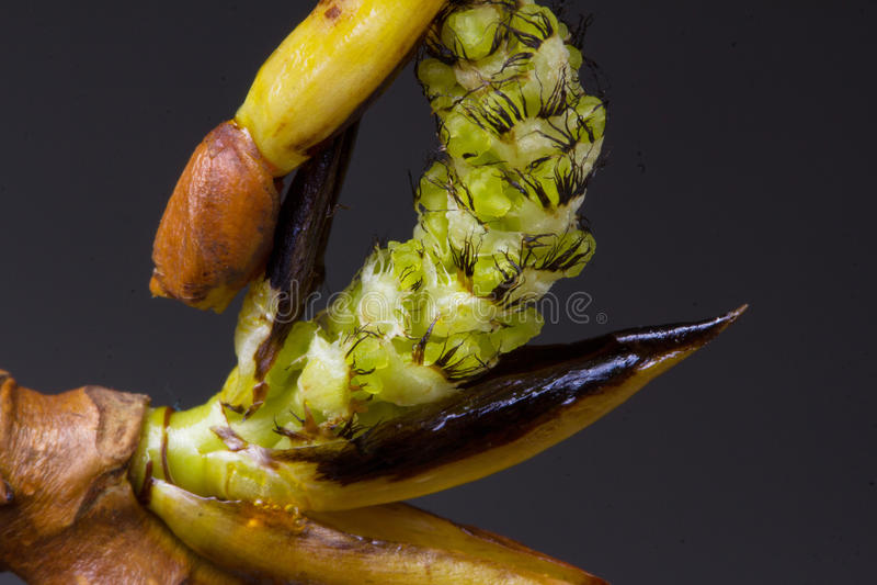 进展的白杨树分支 野生生物 唤醒春天 免版税图库摄影