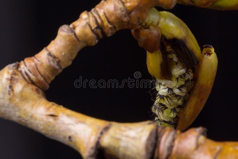 进展的白杨树分支 野生生物 唤醒春天 免版税库存照片