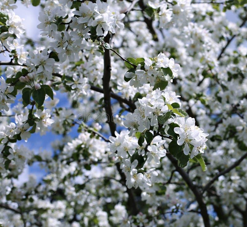进展的苹果分支在春天 库存照片