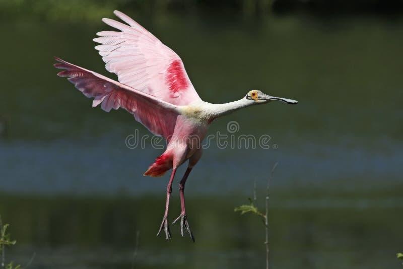 进来为着陆的粉红琵鹭 库存照片