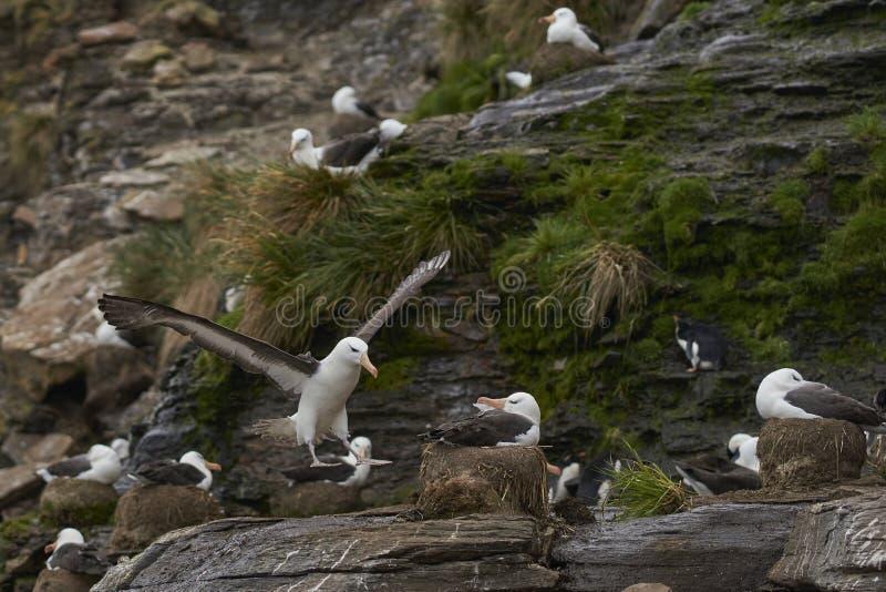 进来黑眉毛的信天翁登陆在桑德斯海岛上 库存照片