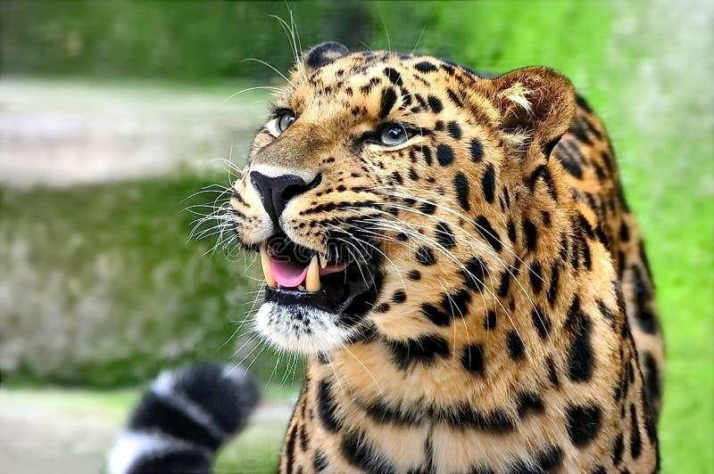 远东豹子或者阿穆尔河豹子拉特 豹属pardus orientalis 特写镜头,画象 东部更豹子 库存照片