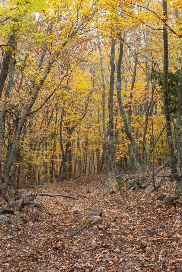 远足用秋季叶子盖的道路通过山毛榉森林 库存图片