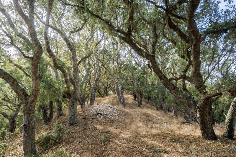 远足通过沿海小橡树(栎属agrifolia)森林森林,垂悬从树的鞋带地衣(Ramalina menziesii) 库存图片
