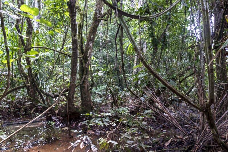 远足道路的雨林充斥了与雨水在马蒂蒂国立公园,玻利维亚 免版税库存图片
