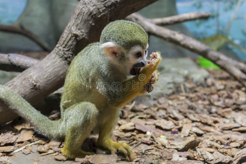 连斗帽女大衣猴子坐地面 库存照片