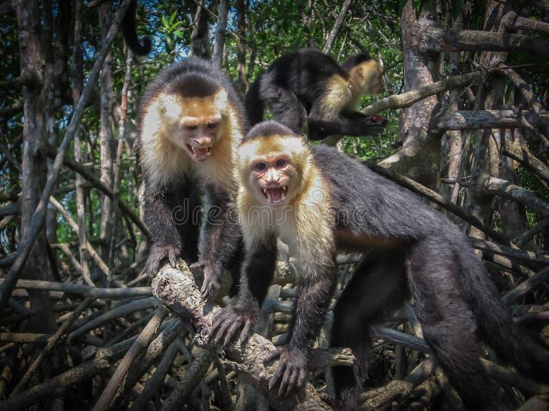 连斗帽女大衣猴子在哥斯达黎加 免版税库存照片