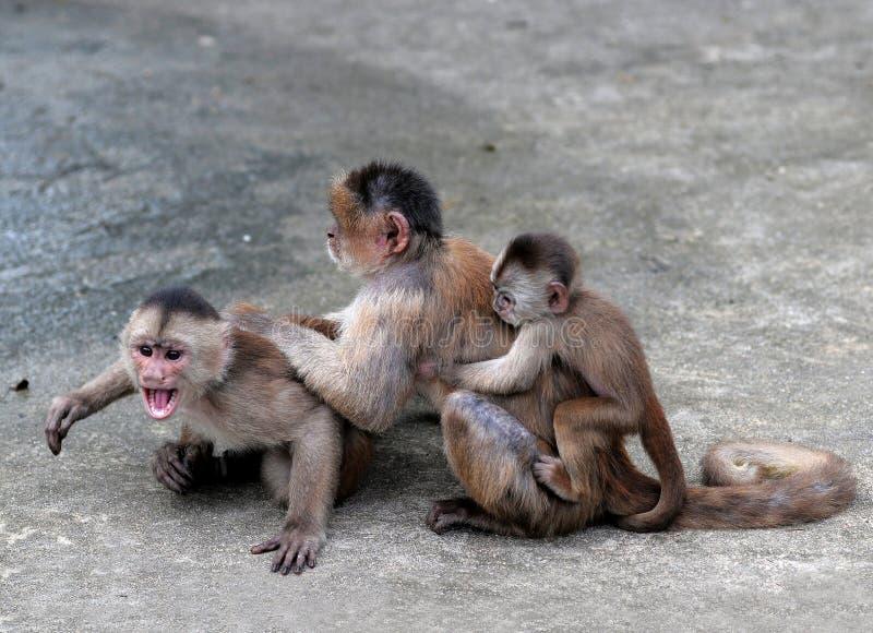 连斗帽女大衣猴子在Misahualli,亚马逊,厄瓜多尔镇  免版税库存图片