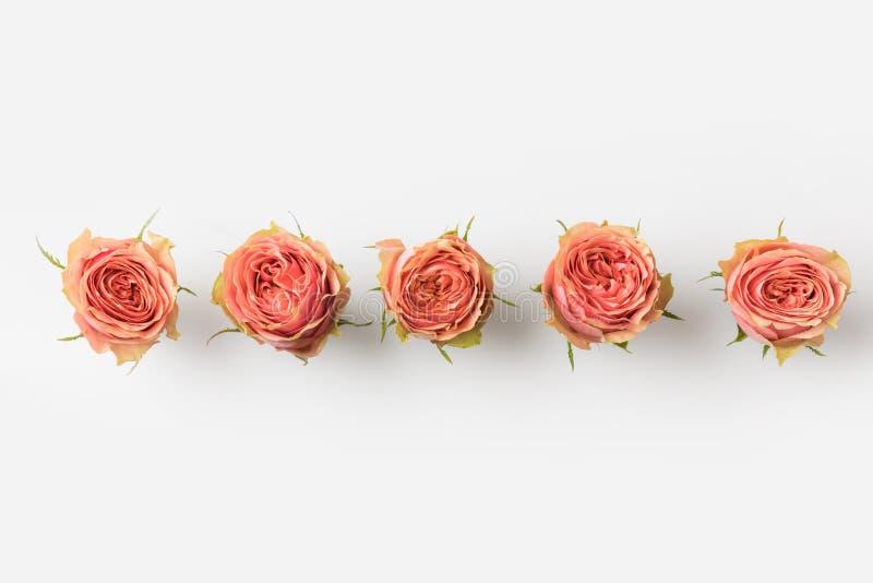 连续被安置的桃红色玫瑰芽 免版税图库摄影