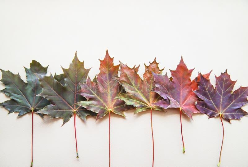 连续被计划的多彩多姿的枫叶的秋天概念 库存图片
