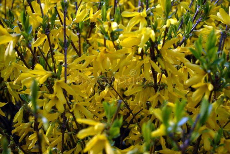 连翘属植物复活节树灌木开花,关闭细节 免版税库存照片