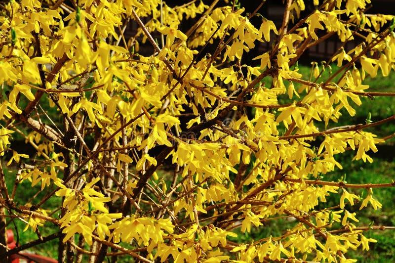 连翘属植物开花的花  春天自然晴朗的花卉背景 库存照片