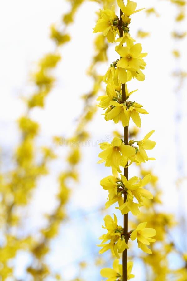 Download 连翘属植物 库存照片. 图片 包括有 bossies, 春天, 空白, 五颜六色, brander, 充满活力 - 30326572