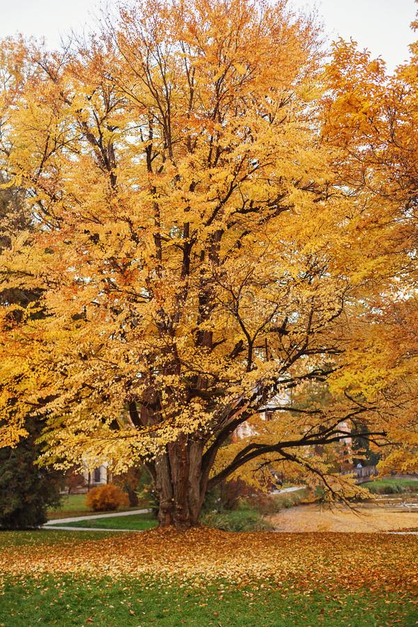 连香树在秋天 免版税库存照片