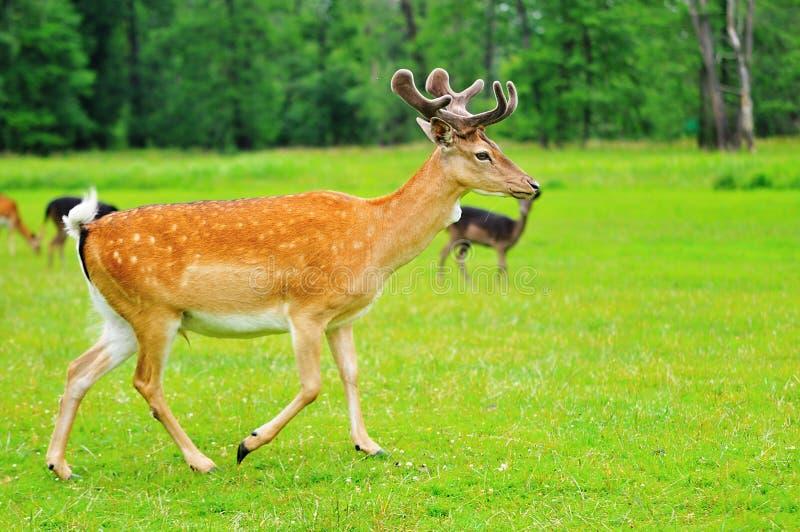 连续小鹿 库存照片
