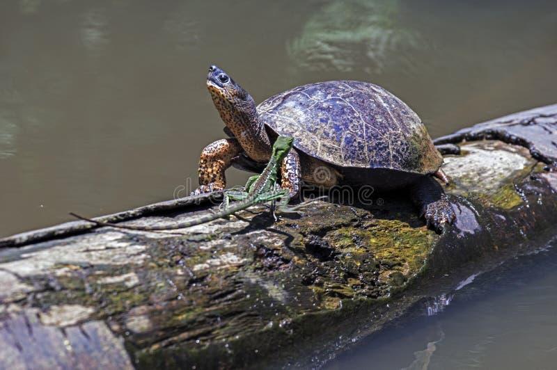 连续蜥蜴和河乌龟在Tortuguero -哥斯达黎加 库存照片