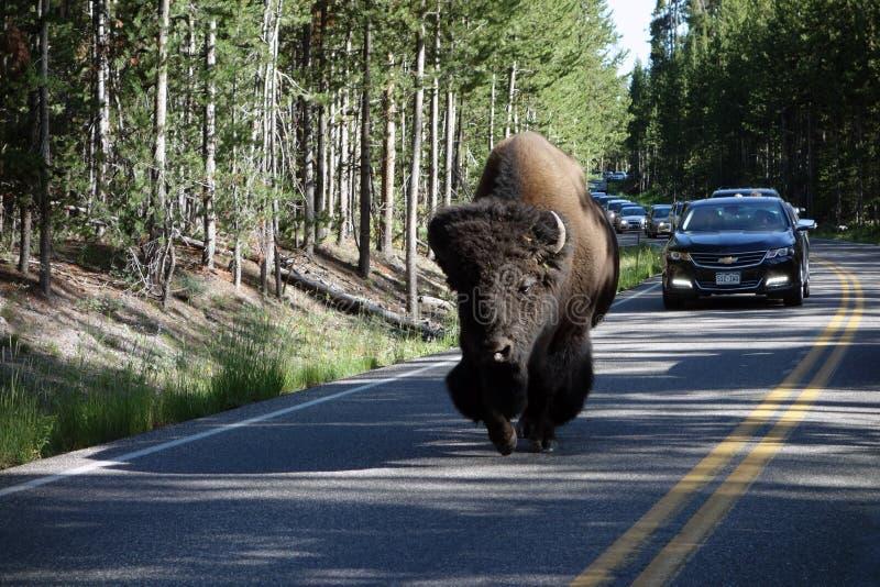 延迟交通的一个巨大的北美野牛 免版税库存照片