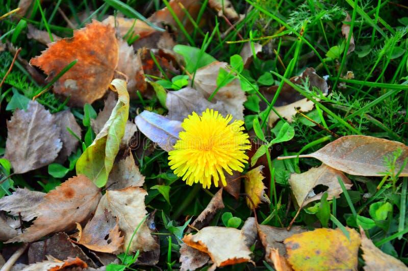 迟来开花 在下落的秋叶背景的黄色开花的蒲公英  图库摄影