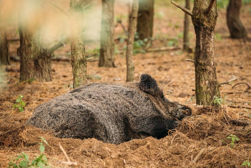 迟来的 野公猪或SU Scrofa,亦称狂放的猪, 免版税库存照片